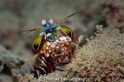 peacock mantis shrimp by Thomas Bannenberg