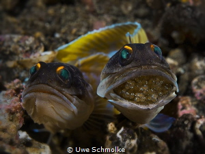 Next jawfish generation by Uwe Schmolke