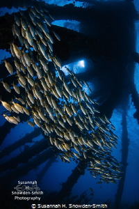 Schooling grunts race under the salt pier in Bonaire! I l... by Susannah H. Snowden-Smith