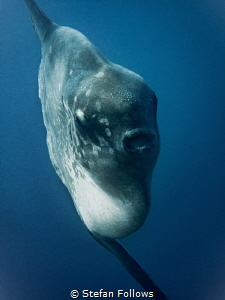 Epic. Southern Ocean Sunfish - Mola ramsayi. Gilli Mimpan... by Stefan Follows
