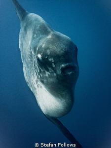 Epic. Southern Ocean Sunfish - Mola ramsayi. Gilli Mimpan... by Stefan Follows