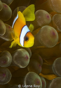 Anemonefish by Leena Roy