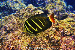 Sailfish Tang Surgeonfish, Hawaii by Alison Ranheim