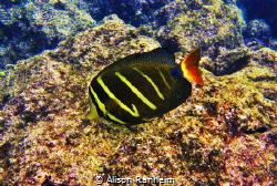 Sailfish Tang Surgeonfish, Hawaii by Alison Ranheim
