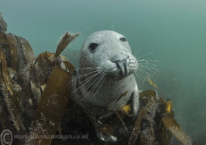 Grey seal - Farne Islands by Mark Thomas