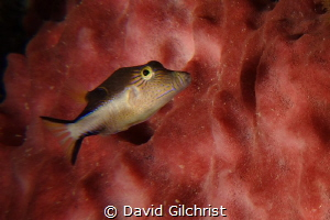 Sharpnose Puffer(Canthigaster rostrata) by David Gilchrist