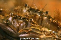 crabs by Mehmet Öztabak