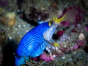A blue ribbon eel shouting at me to keep my distance. by Chris Pienaar