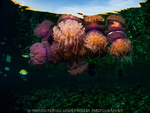 JELLIES by Marko Perisic
