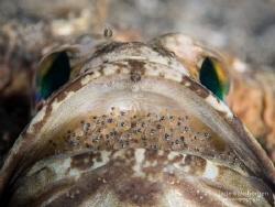 Dusky Jawfish on Father Duty by Jade Hoksbergen
