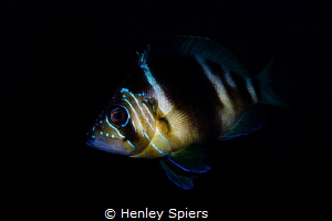 Barred Hamlet with iridescent blue face tattoos by Henley Spiers