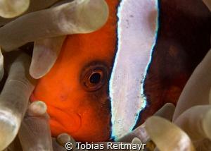 Tomato Anemonefish, Fantasea Reef, Puerto Galera by Tobias Reitmayr
