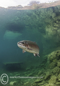 Trout by Mark Thomas
