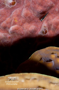 """Layers"" - A sharknose goby draws the eye into the corner... by Susannah H. Snowden-Smith"