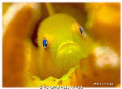 I Hope You Like My Eyes - Yellow Hairy Goby. This beautif... by Md Kamal Hasan A Aziz