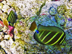 Double Sailfish Tang Surgeonfish, Hawaii by Alison Ranheim