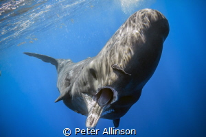 Babysitting sperm whale, challanging me as I was too clos... by Peter Allinson