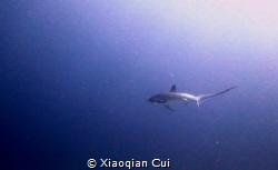 Thresher shark by Xiaoqian Cui