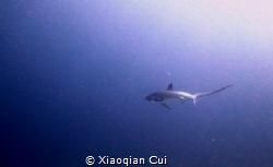 Thresher shark by Xiaoqian Cui