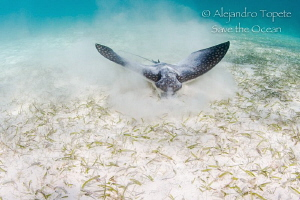 Eagle Ray finding food,Akumal México by Alejandro Topete