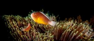 Nosestripe anemonefish or skunk clownfish by Chris Pienaar
