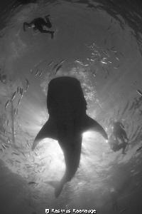 Whaleshark by Rasmus Raahauge
