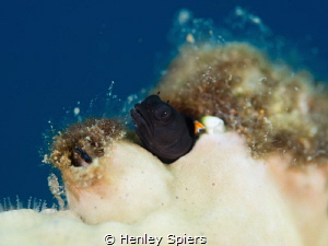 Red Banner Blenny at Home by Henley Spiers