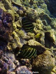Double Sailfish Tang Surgeonfish #2, Hawaii by Alison Ranheim