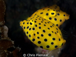 Two Yellow (Cubic) boxfish swimming in almost a mirror im... by Chris Pienaar