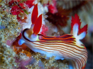 A golden Nembrotha, Nembrotha aurea on Hotspots reef. by Chris Pienaar