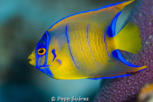 Juvenile Queen Angelfish @Cozumel by Pepe Suárez