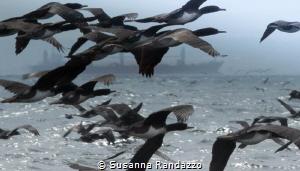 birds & ocean by Susanna Randazzo