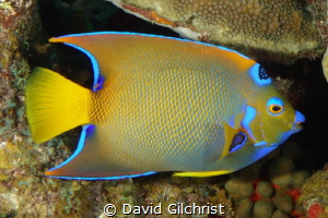 Queen Angelfish in the waters of the Roatan Marine Park. by David Gilchrist
