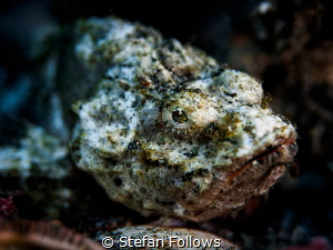 Monday Morning ... ! Devil Scorpionfish - Scorpaenopsis d... by Stefan Follows