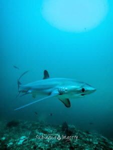Full frame Thresher Shark male on E-M1 at 8mm on Panasoni... by Jan Morton