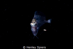 Larval Stage Surgeonfish on a Night Dive by Henley Spiers