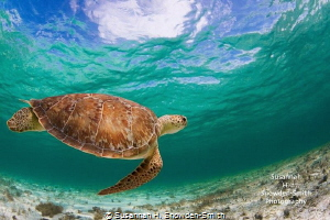 One of the beautiful wild turtles that live inside the ba... by Susannah H. Snowden-Smith