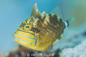 Juvenile Queen Triggerfish by Henley Spiers