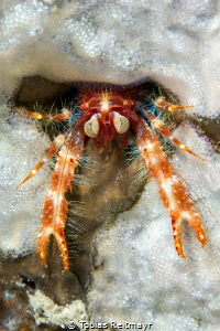 Bug-eyed squat lobster No.2, Montani, Puerto Galera by Tobias Reitmayr