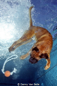 Who has ever seen a diving dog ? by Danny Van Belle