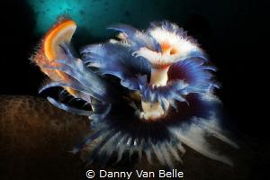 Tubeworm enjoying the sun by Danny Van Belle