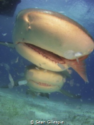 Caribbean Reef shark with a fish, lemon shark hot on his ... by Sean Gillespie