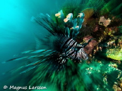 Lionfish on the hunt by Magnus Larsson