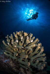 Exydoyi Coral of Kauai by Tony Cherbas