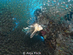 Queen Lion Fish and her follower by Anja Flick