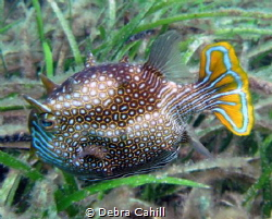 Ornata Cowfish Pt Hughes Jetty South Australia by Debra Cahill
