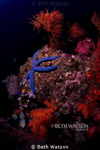Blue Sea Star (Linckia laevigata).  Over 2,000 sea star ... by Beth Watson