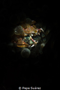 Porcelain crab on its anemone by Pepe Suárez