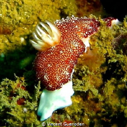 Nudibranch by Vincent Guenoden