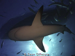 Caribbean reef shark passes between sun, boat, and camera by Sean Gillespie